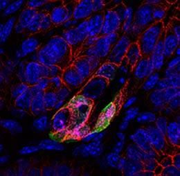 Labelled revival stem cells in the gut. Photo credit: Shaida Ouladan